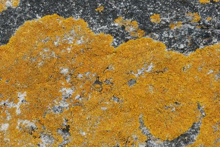 lichen: Yellow lichen on bare rock Stock Photo