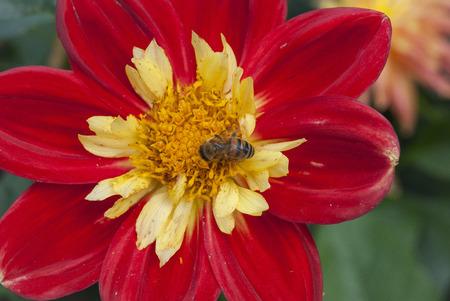 bee on flower: Bee on red flower