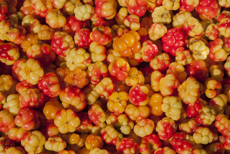 chicouté: Background cloudberries in macro