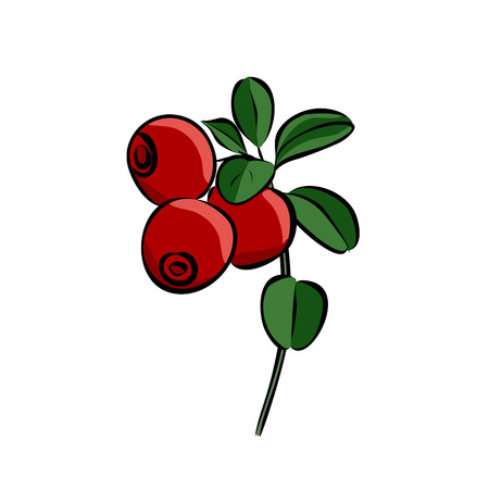 Hand drawn red lingonberry, vector