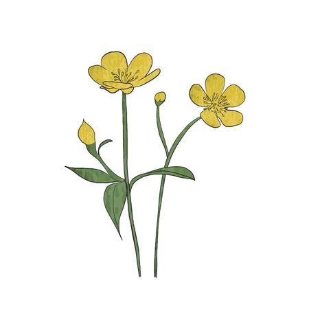 Hand drawn buttercup flower, vector. Illustration