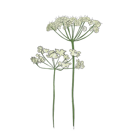 Hand drawn cow parsley, vector.