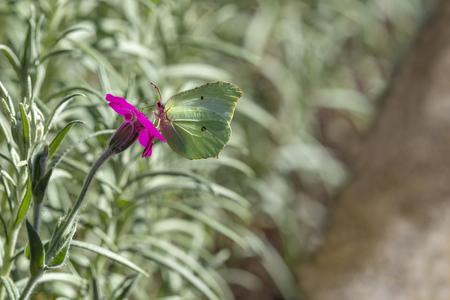 Yellow butterfly in macro