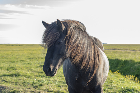 Lonely horse in Iceland Stock Photo