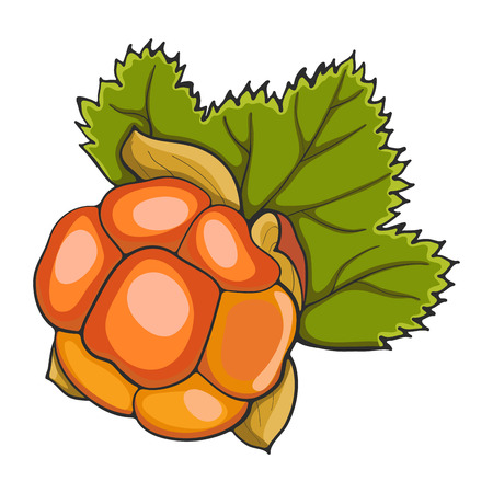 Hand drawn cloudberry isolated on a white background, vector illustration.
