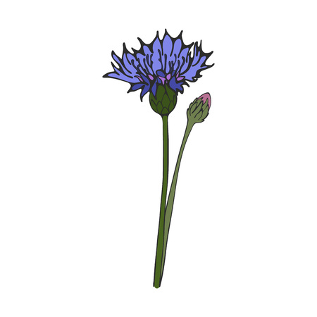 Hand drawn blue cornflower, vector