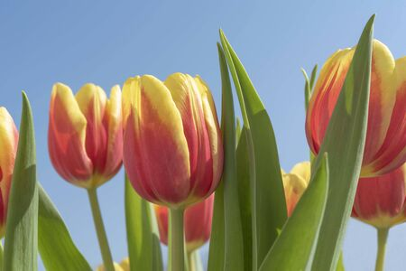 Colorful spring tulips background