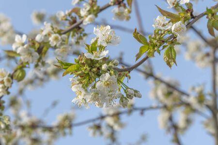 White cherry blossom background