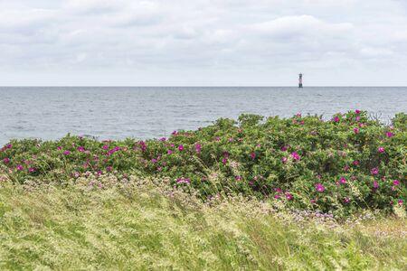 Beach roses at Viken in Sweden