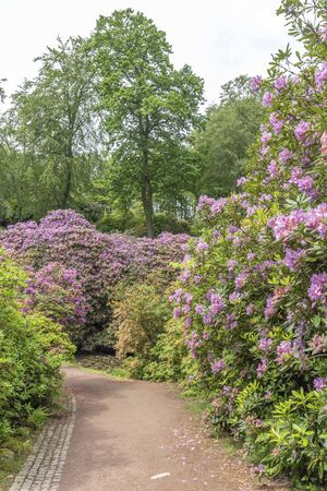 Rhododendron in spring in Sofiero