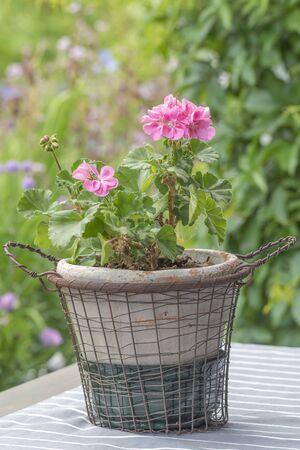 Pink geranium in garden 写真素材