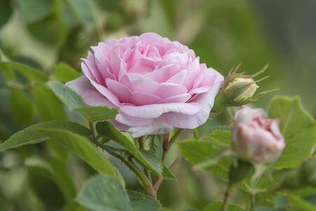 Pink rose plant in garden