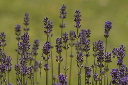 Background purple lavender in macro