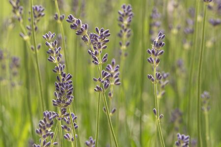 Purple lavender in macro view 写真素材