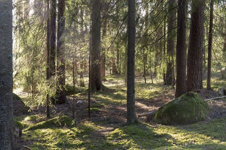 Sunlight in the forest in Sweden