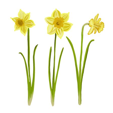 Painted daffodils in spring, vector Иллюстрация