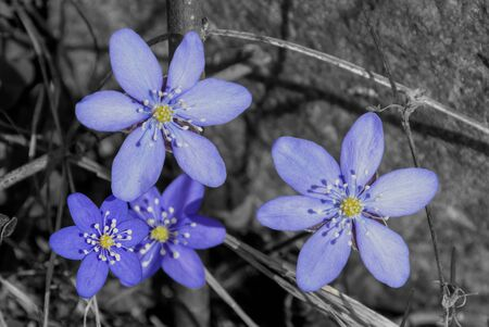 Blue anemone on grey background in spring Фото со стока