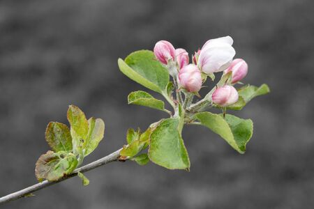 Branch of apple tree on grey background in spring