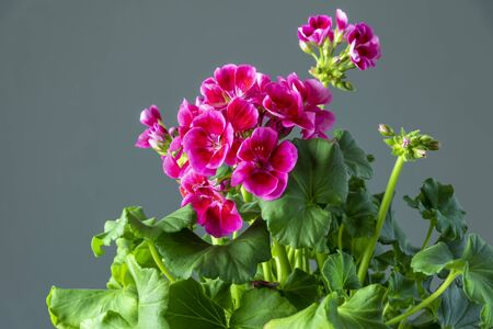 Pink geranium in close up view