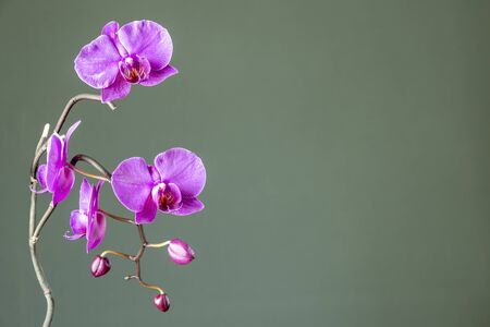 Pink orchid macro background