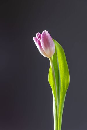 Single pink tulip in spring
