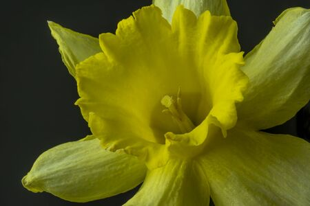 Daffodil in macro view background