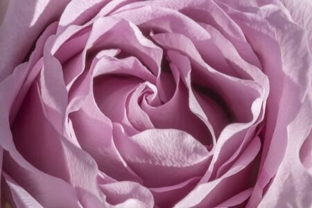 Soft pink rose macro background
