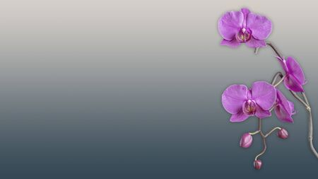 Wallpaper purple orchid flower background