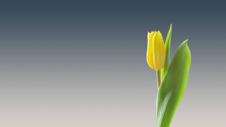 Wallpaper yellow tulip flower background