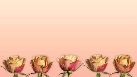 Apricot roses in a row background