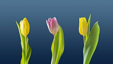 Wallpaper three tulips background
