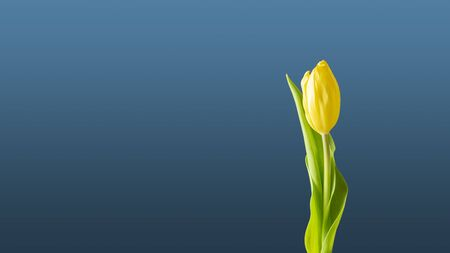 Wallpaper yellow tulip on blue background