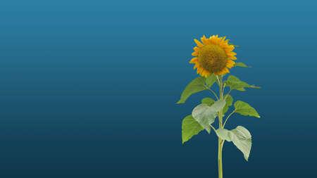 Background yellow sunflower in summer
