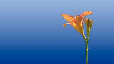 Orange lily on blue background