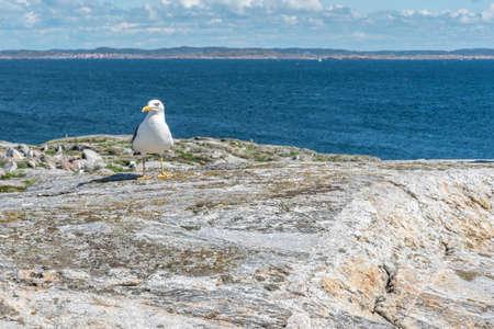 Great blackbacked gull at Maseskar in Sweden