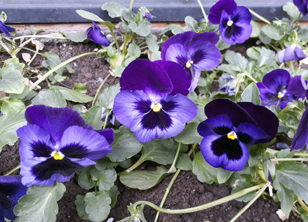 Beautiful violet tricolor pansy closeup growing on the flowerbed Stock Photo