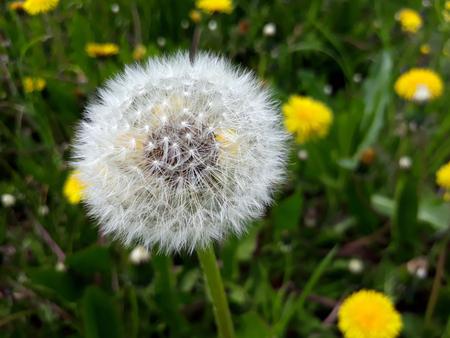 Single dandelion fluffy seed head on a meadow between yellow dandelions