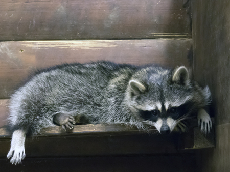 Funny fluffy raccoon lying in a wooden cage at the zoological garden Stock Photo