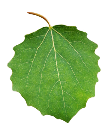 Fresh green aspen leaf with stem and veins isolated on white background