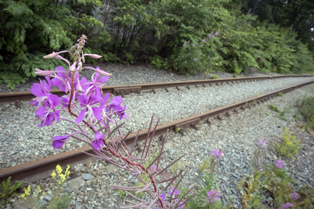 Pink curved inflorescence of willow-herb closeup against old rusty abandoned railway