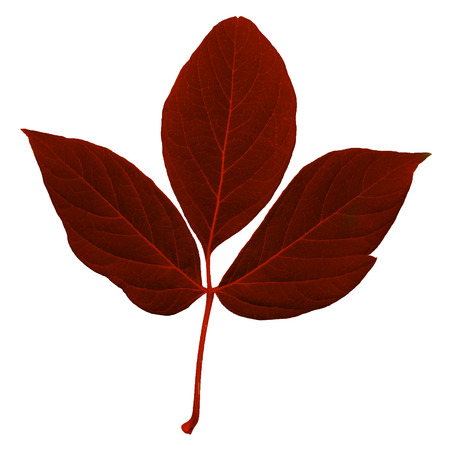 Natural red colored fresh leaf with stem, trefoil with a lot of streaks isolated on white background Banco de Imagens