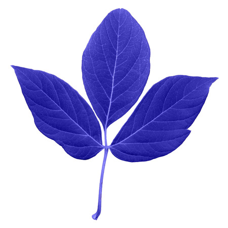 Natural blue colored fresh leaf with stem, trefoil with a lot of streaks isolated on white background