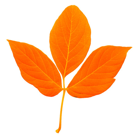 Natural orange colored fresh leaf with stem, trefoil with a lot of streaks isolated on white background