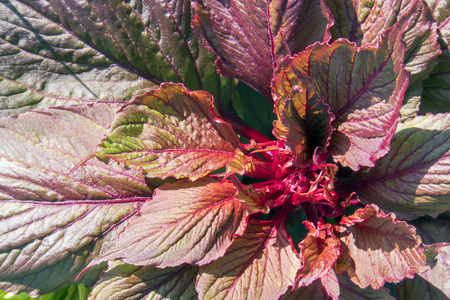 Lush Red And Green Leaves Of Growing Houseplant Coleus Blumei ... Houseplant Red And Green Leaves on red and green ornamental grass, red and green leaf plant, red and green ground cover,