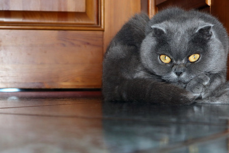 Funny cute smoky colored Scottish fold cat resting on the floor in the country house