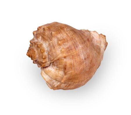 Dried empty shell of marine gastropod Rapana Venosa isolated on light background Stock fotó
