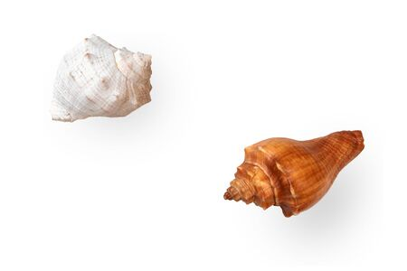Two dried empty shells of marine gastropod Rapana isolated on light background