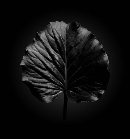 Black leaf of the plant Elefant ear with highlights on dark background with radial gradient, trendy minimalist black style
