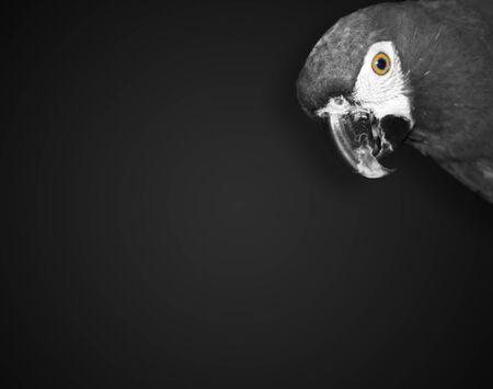 Monochrome photo of cute parrot Ara with colored eye, minimalist animal art
