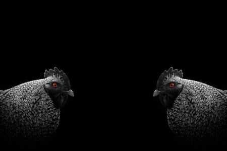 Monochrome duplicated photo of cute speckled rooster with colored eye, minimalist animal art